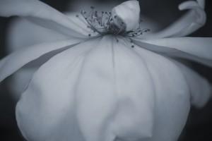 flower_O9B1165A copy